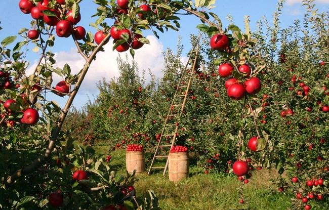 Мозъкът ни обича ябълки-много ползи в една малка топчица