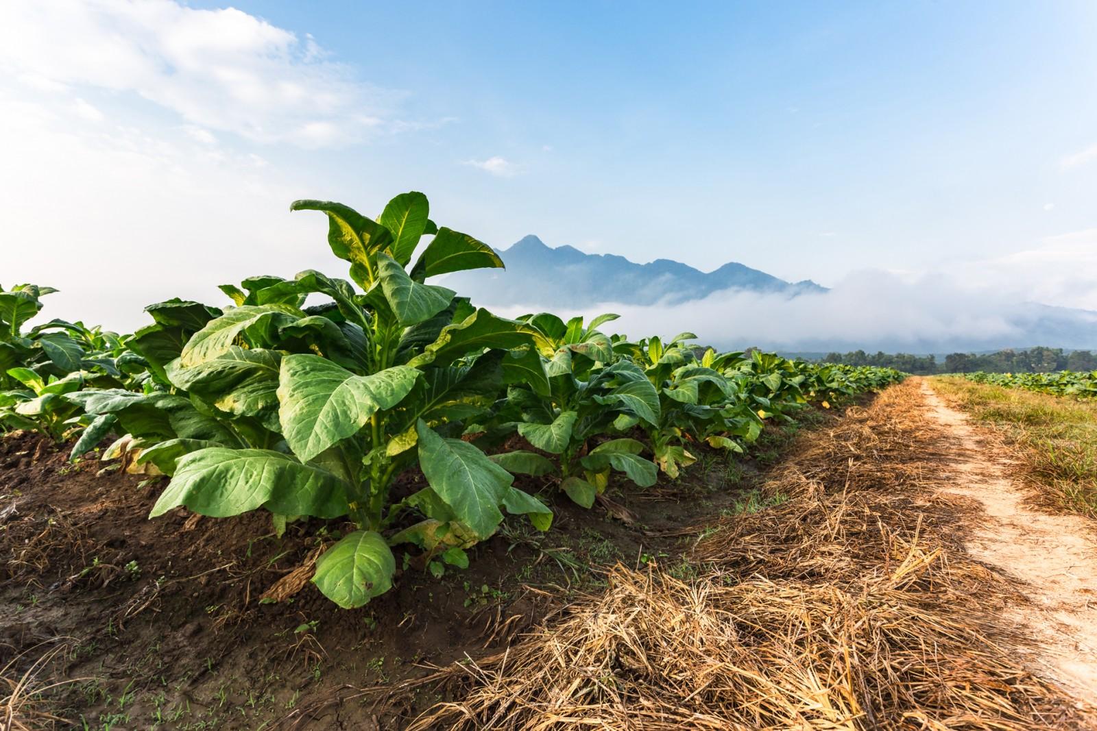 Турция започва тест на ваксина срещу Кодид  със извлеци от тютюневи растения Nicotiana benthamiana